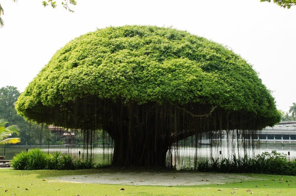 Banyan Trees in Hawaii – You Don't Want to Miss These!
